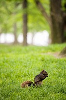 Squirrel in Central Park, New York City, USA