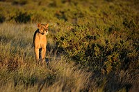 Lion (Panthera leo), lioness at dawn, Samburu National Reserve, Kenya, Africa