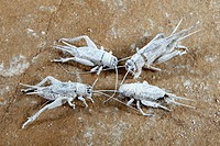House Crickets covered with vitamine powder, Acheta domestica