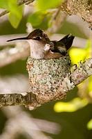 Hummingbird female on eggs in nest