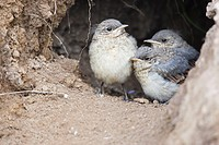 Young Northern Wheatears, Bulgaria, Oenanthe oenanthe