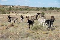 Donkeys, Namibia
