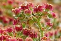 Barrilla o Escarcha (Mesembryanthemum crystallinum). El Hierro. Islas Canarias. España