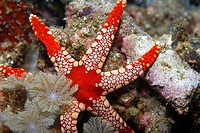 Sea Star (Fromia monilis) in the Lembeh Straits North Sulawesi, Indonesia