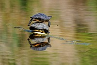 Red_eared Slider Turtle Trachemys scripta elegans sunbathing, Stuttgart, Baden_Wuerttemberg, Germany, Europe