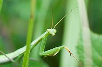 Praying Mantis partially concealed by greenery (thumbnail)