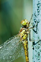 Wet dragonfly on plant stalk