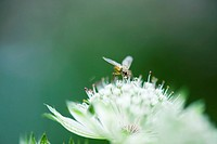 Maggot fly tachinid perched on white flower