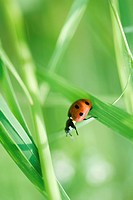 Ladybug crawling on leaf of grass