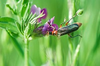 Soldier beetle cantharidae dusted with pollen crawling on purple flower, aphid hiding on leaf