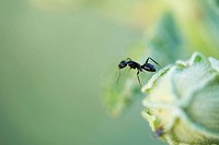 Argentine ant standing upright on edge of flower bud