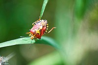 Red Shield bug carpocoris mediterraneus, nymph, crawling from one blade of grass to another