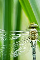 Dragonfly, close-up of thorax
