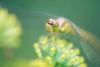 Dragonfly perched on tiny yellow flower blossoms