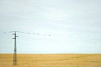 Power line over field, birds perching on top wire