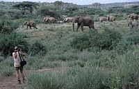 African elephant Loxodonta africana _ Shaba National Park, Isiolo, Kenya, Africa