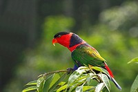 Black-capped Lory, Western Black Capped Lory or Tricolored Lory (Lorius lory), parrot