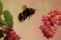 Buff_tailed Bumblebee
