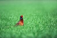 Ring_necked Pheasant Phasianus colchicus _ Flanders, Belgium, Europe