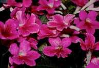 Streptocarpus ´Stella´. Mass of pink flowers.