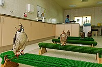 Waiting room in the falcon clinic Abu Dhabi Falcon Hospital, Emirat Abu Dhabi, United Arab Emirates, Asia
