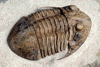 Trilobite fossil. Fossil of a trilobite Asaphus platyurus latisegmentatus from the Ordovician period around 490 to 445 million years ago. Trilobites a...