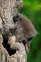 North American Porcupine,Erethizon dorsatum,Minnesota,USA,young climbing on tree