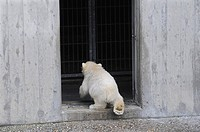 Polar bear cub Wilbaer during his first public appearance returning indoors to the disappointment of the visitors, Wilhelma Zoo in Stuttgart, Baden-Wu...