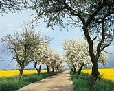 Blossoming apple trees, orchard, meadow, spring
