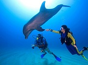 Tame Bottlenose Dolphin (Tursiops truncatus) and scuba divers on the ocean floor, tourist attraction, Roatan, Honduras, Caribbean