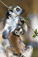 ring_tailed lemur Lemur catta _ Zoo Emmen, Emmen, Drenthe, The Netherlands, Holland, Europe