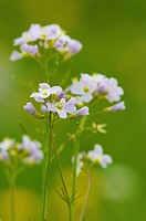 Lady's Smock, Cuckooflower Cardamine pratensis _ Overijssel, The Netherlands, Holland, Europe