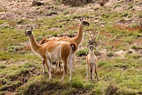 Guanacos Lama guanicoe with young, Torres del Paine National Park, Patagonia, Chile, South America