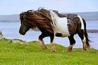 Shetland pony, lead stallion of a wild pony herd, Yell, Shetland, Scotland, United Kingdom, Europe