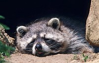 Raccoon (Procyon Lotor), sleeping, Germany, Europe