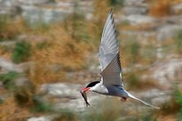 Arctic Tern Sterna paradisaea with a fish in its beak, in flight