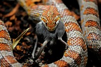 Corn Snake or Red Rat Snake Pantherophis guttatus, Elaphe guttata guttata eating a mouse