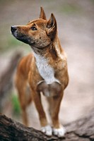 New Guinea Singing Dog (Canis lupus hallstromi)