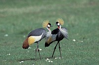 South African Crowned Crane, Grey Crowned Crane (Balearica regulorum)