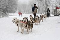 Dog sled team in the Schwarze Berge (Black Mountains), Rhoen Range, Franconia, Bavaria, Germany, Europe