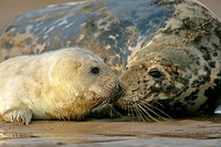 Grey seal mother, halichoerus grypus, and newborn pub taking stock of each other by sniffing Donna Nook, Lincolnshire Coast, England, UK