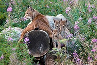 Lynxes (Lynx lynx) with kitten in flowers