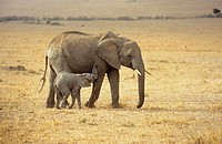 Elephant with cub, Loxodonta africana, Masai Mara, Kenya, Africa