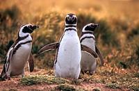 Magellanic Penguins, Spheniscus magellanicus, Seno Otway, Patagonia, Chile