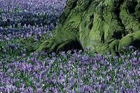 Crocus blooming, Schlosspark, Husum, Schleswig-Holstein, Germany
