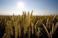 Sunny wheat file (thumbnail)