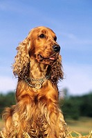 English Cocker Spaniel, adult