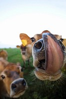 Close up of jersey cows licking lips