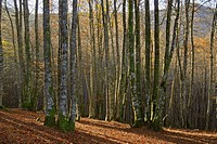 Forest near Urepel, Pyrenees-Atlantiques, France