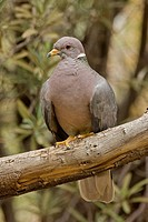Band-tailed Pigeon (Columba fasciata), perched. Arizona, USA